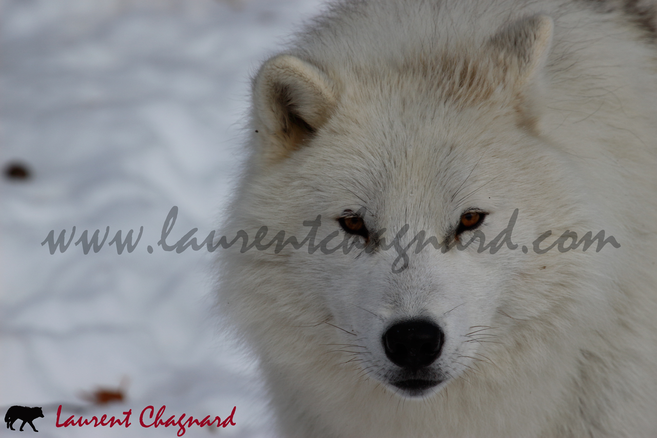 loup-arctique_0816