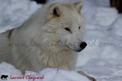 loup-arctique_0781