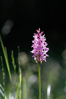 N-000017 Orchis Militaire - Vercors