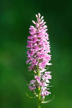 N-000018 Orchis Militaire - Vercors