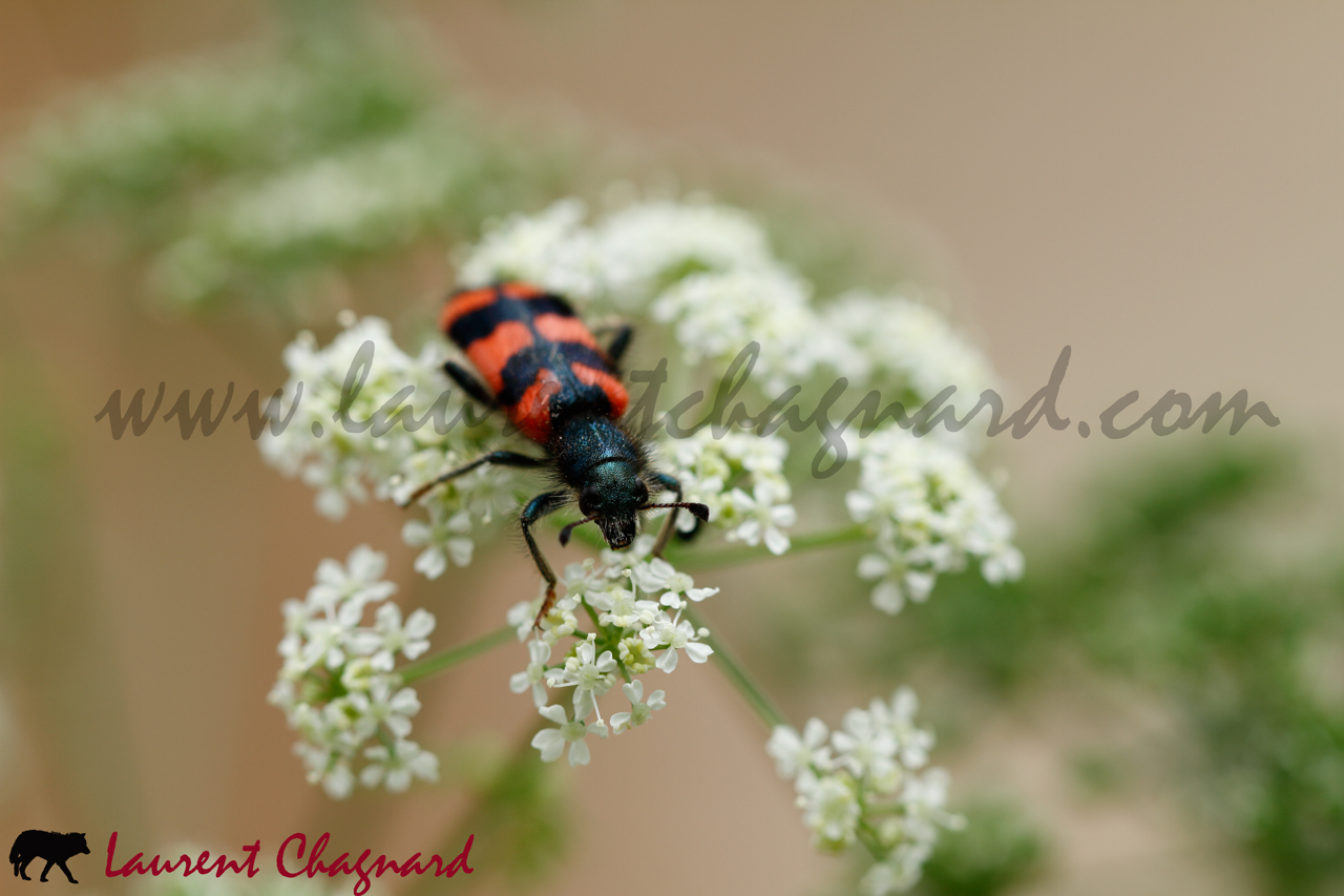 clairon-des-abeilles_0916
