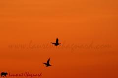 cormorans_2692