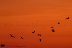 cormorans_2715