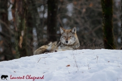 coyote_0774