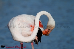 flamant-rose_5308