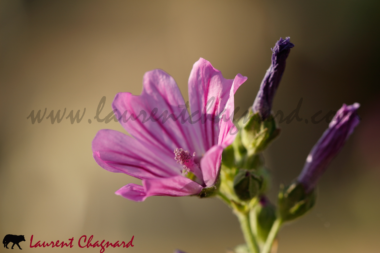 mauve-sylvestre_0067