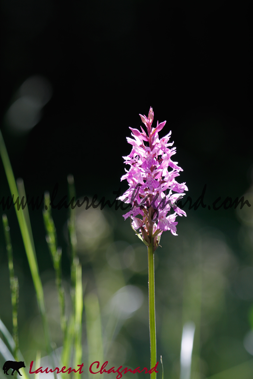 orchis_0718