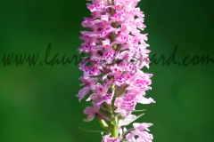 orchis_0732